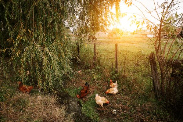 poulet biologique ouest de paris